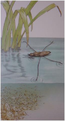 Hmyz sa pohybuje po hladine a jeho hmotnosť nesie &;blana&; vytvorená